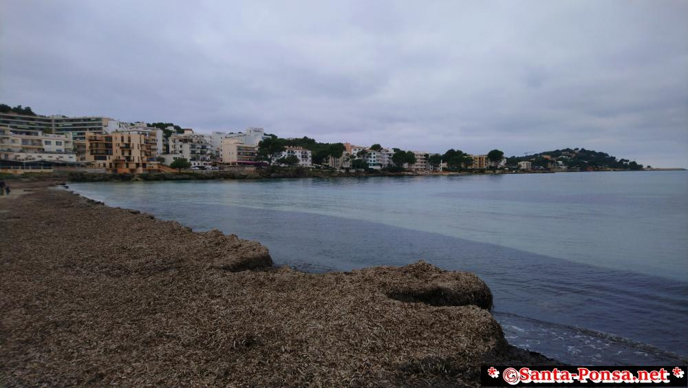 Santa Ponsa Strand im Winter, mit Seegras bedeckt